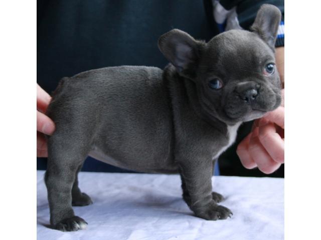 Micro mini cachorros bulldog franc s san nicol s de los - Bulldog frances gratis madrid ...