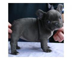 Micro mini cachorros Bulldog francés