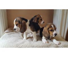 de cachorros Beagle disponibles