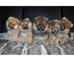 cachorros domesticados Pomerania