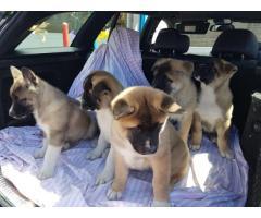 Los cachorros Akita Inu en Lol disponible de inmediato