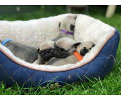 Cachorros puros de pug con pedigree disponible