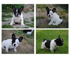 Cachorros de Bulldog Frances (tamaño pequeño)
