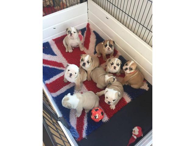 Excelente calidad cachorros bulldogs Inglés para la adopción. - 2/2