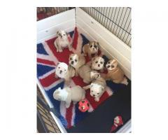 Excelente calidad cachorros bulldogs Inglés para la adopción.