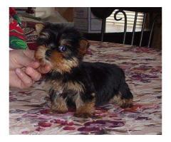 Yorkies Terrier cachorros para su adopción