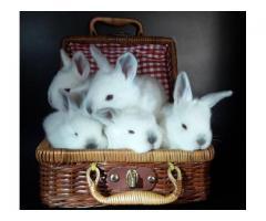 Conejo Para Mascota O Recría
