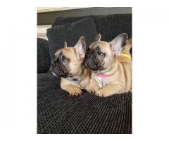 Cachorros de bulldog francés de calidad