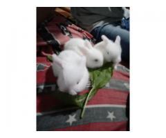 Conejos Honand Lop(enanos d orejas caidas)