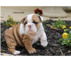 Regalo Cachorros Bulldog ingles macho y hembra de forma gratis a todos