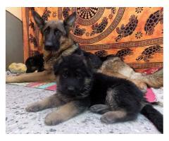 Cachorros Ovejero Aleman