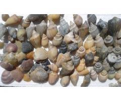 Venta de Caracoles y Piedras Marinas
