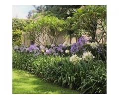VENDO PLANTAS: AGAPANTOS AZULES