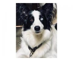 cruza  border collie