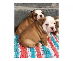 Kc registró cachorros de bulldog inglés