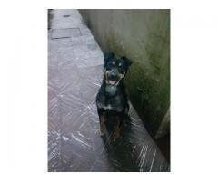 ADOPCION RESPONSABLE!! Perro macho castrado, tamaño mediano!