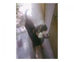 Doy en ADOPCION perro macho castrado, tamaño mediano!