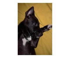 Cachorros en adopción gratuita