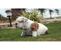 Bulldog para casas nuevas