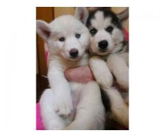 Lindo cachorro de husky siberiano