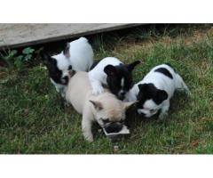Cachorros de Bulldog Frances tamaño pequeño