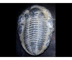 Trilobite fósil.