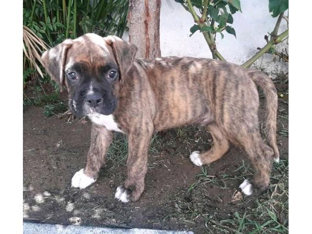 Vendo cachorro boxer - 1/3