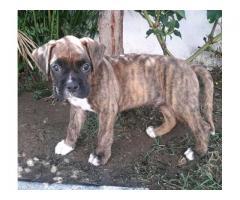 Vendo cachorro boxer - Imagen 1/3