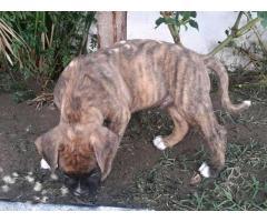 Vendo cachorro boxer - Imagen 2/3