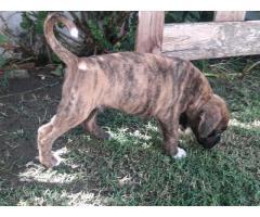 Vendo cachorro boxer - Imagen 3/3