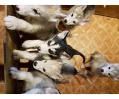 Camada de calidad de cervatillo de cachorros de bulldog francés - Imagen 3/3