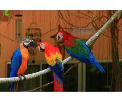 Guacamayos ara ararauna macho y hembra