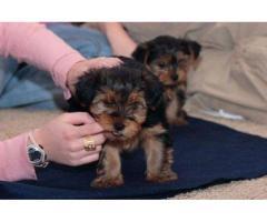 Cachorros adorables de Yorkie masculinos y femeninos