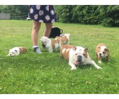 4 macho y hembra bulldog inglés