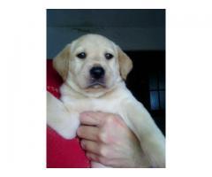Cachorros Labradores 45 días Vacunados Desparas Arena,dorados y dudley