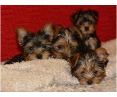 Cachorros yorkie terrier